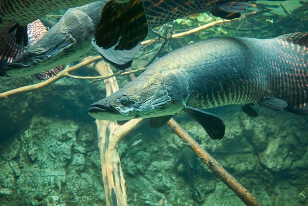 Ψάρι του Αμαζονίου έχει «αλεξίσφαιρο γιλέκο» για να αντιμετωπίζει τα