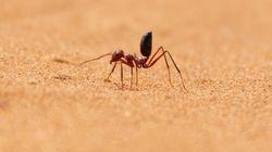 Το γρηγορότερο μυρμήγκι στον κόσμο - Πού βρίσκεται και τι ταχύτητες