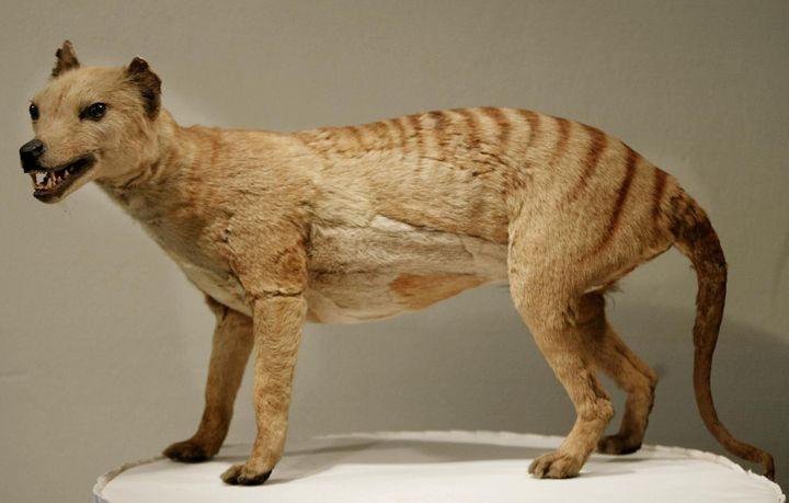 Couvert d'un pelage brun à rayures jaunâtres, le tigre de Tasmanie possède une puissante mâchoire et la femelle est dotée d'une poche lui permettant d'y faire grandir ses petits.