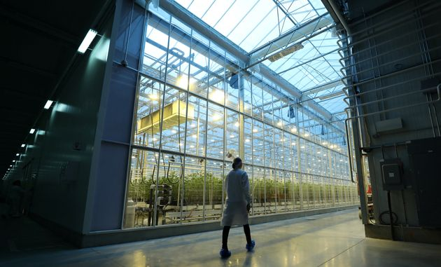 An employee walks past a greenhouse growing cannabis plants at Hexo Corp.'s facilities in Gatineau, Que.,...
