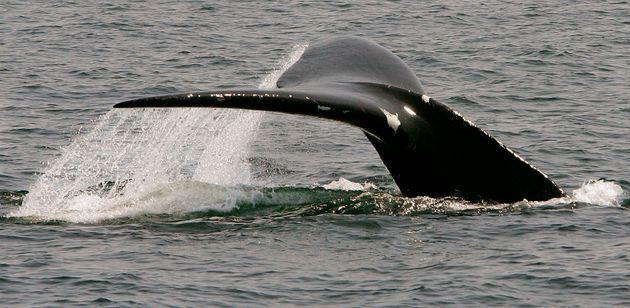 Υποβρύχιο τσιμπούσι: Ψάρια και χταπόδια γευματίζουν σε κουφάρι φάλαινας στον