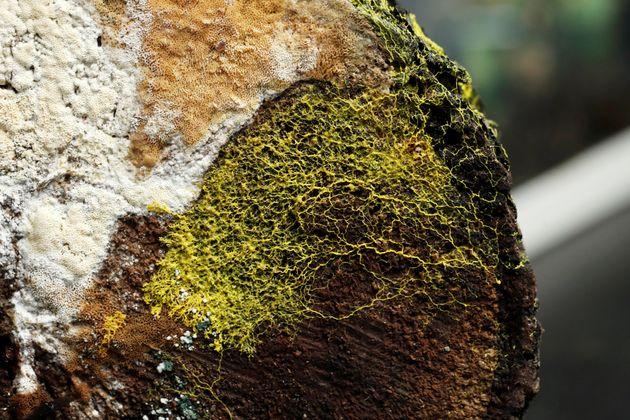 Μυστήριο της φύσης: Ζωντανή και «έξυπνη» κίτρινη μάζα με 720 φύλα σε ζωολογικό κήπο του