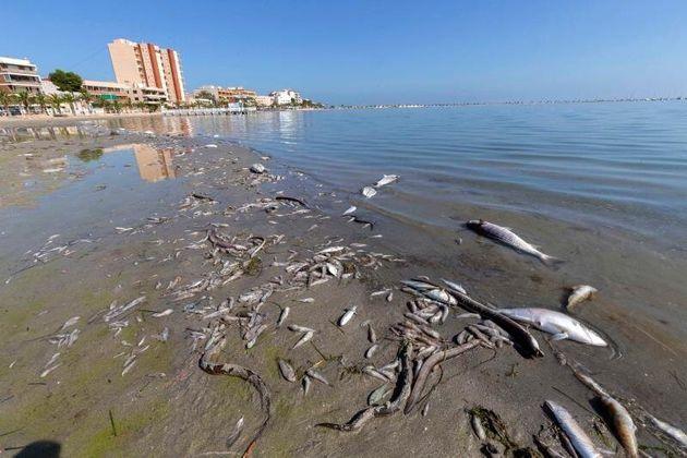 Peces muertos en playas del Mar Menor, en la zona de Villananitos y La Puntica, San Pedro del Pinatar,...