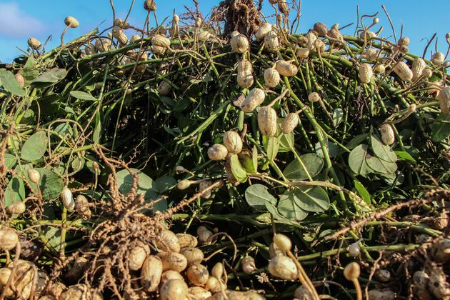 Peanuts, shown here, cost only $803 per acre to grow, compared to the $2,900 per acre it costs to grow