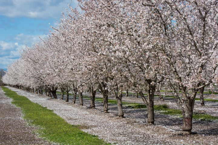 California almond trees, seen here in their flowering state, take four to five years to produce enough almonds to make a profit.