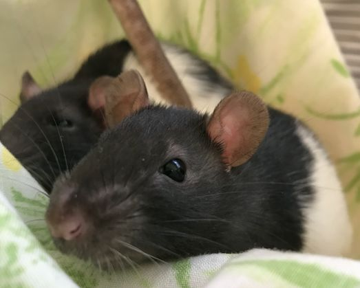 Two rats spending time together at the San Diego Humane Society.