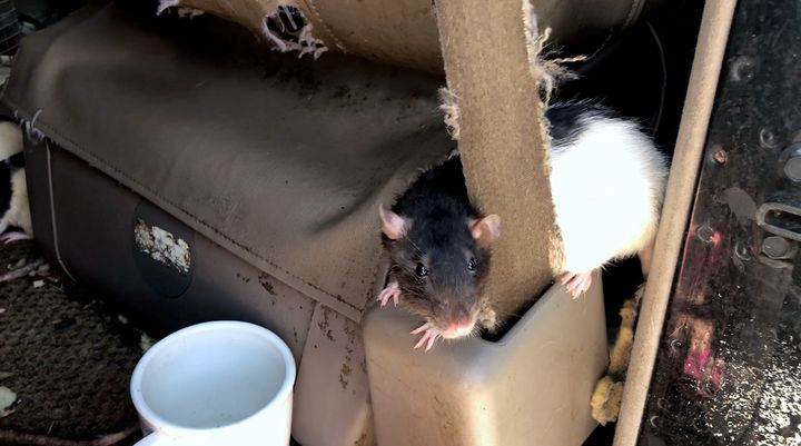 One of the rats later removed from the van.