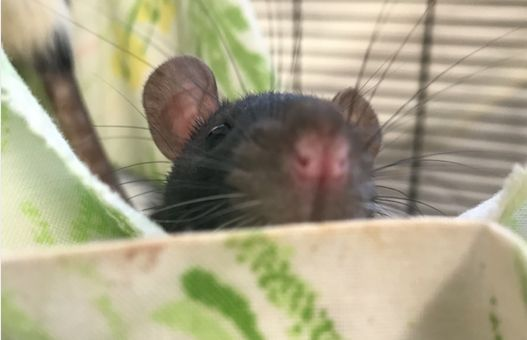A rat now in the care of San Diego Humane Society.