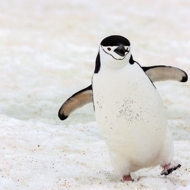 ペンギンの可愛いすぎるトリビア大集合。ソリのように移動し、顔にあごひも?【画像集】