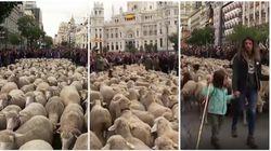 La transumanza passa per Madrid. Il centro città viene invaso dalle pecore