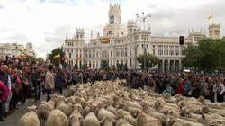 Miles de ovejas recorren el centro de la capital en la Fiesta de la