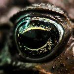 Βάτραχος «μεταμορφώνεται» σε οχιά για να αποφύγει τις