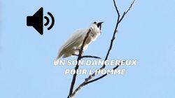 Ce petit oiseau est le plus bruyant du