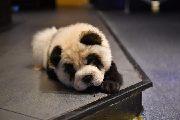 Τσεντού, Κίνα. Σκύλος...