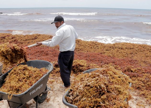 Des ouvriers ramassant des algues sargasses au Mexique en août