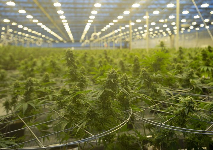 Cannabis plants are seen during a tour of a Hexo Corp. production facility in Masson Angers, Que., on Oct. 11, 2018.