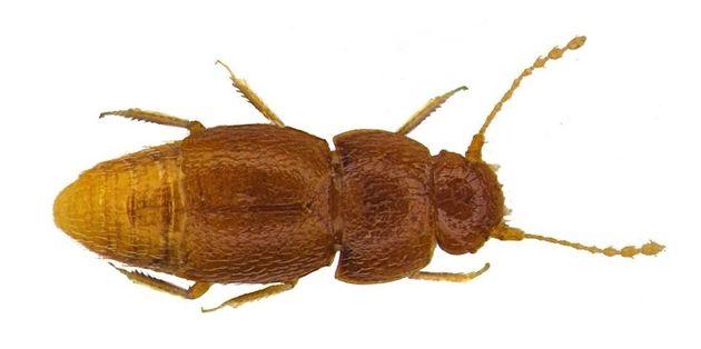Cet insecte a été nommé Greta en hommage à l'activiste