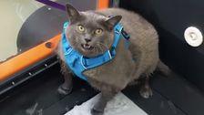 Όλοι είναι Ριζοβολία Για Θράκα Μπλοκ, Μια Παχύσαρκη Γάτα Που Απεχθάνεται Την Προπόνηση