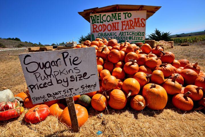 Sugar pie pumpkins for sale at a farm sale in a field in California.