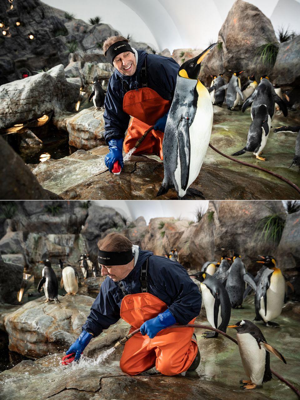 Os pinguins observam Smith fazendo a faxina de seu hábitat no Zoo de St.