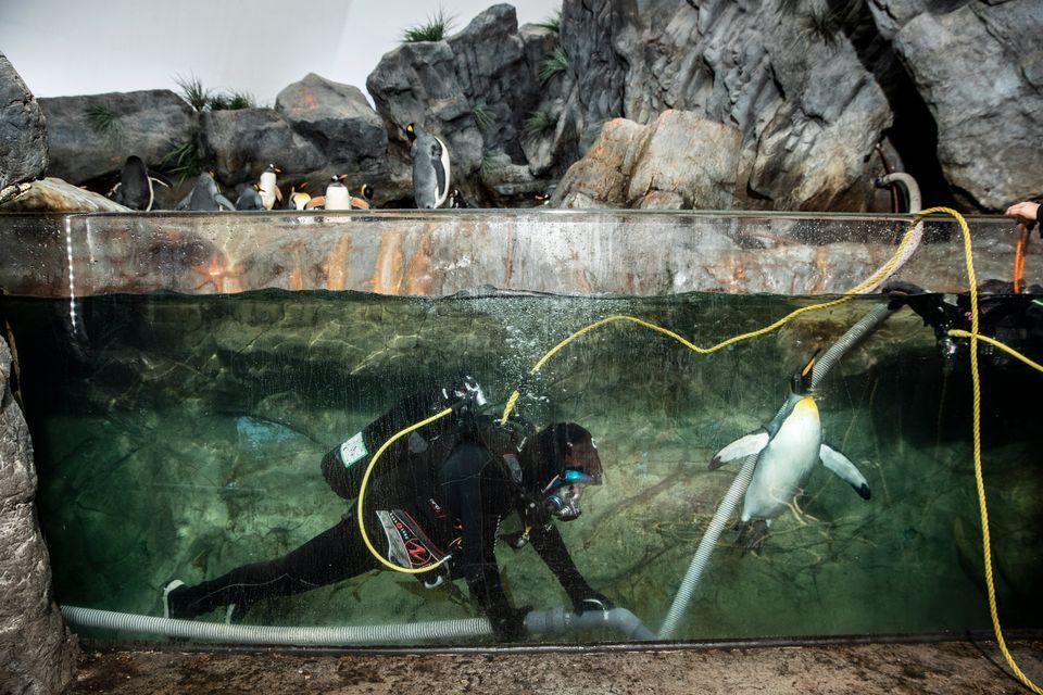 Usando a roupa e os equipamentos completos de mergulho, Smith faz a limpeza do tanque de pinguins com...