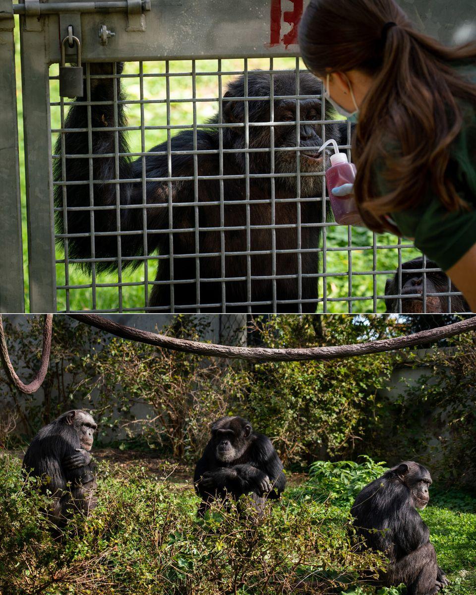 Ao alto: Mohr cuida de chimpanzés numa área do zoológico ao ar livre. Abaixo: chimpanzés...