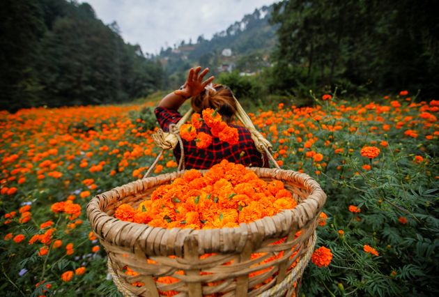 A woman fills her basket with marigold flowers, used to make garlands and offer prayers, as she plucks...