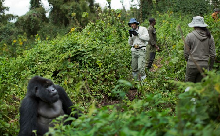 In this Friday, Sept. 4, 2015 file photo, a tourist takes photos of a male silverback mountain gorilla from the family of mou