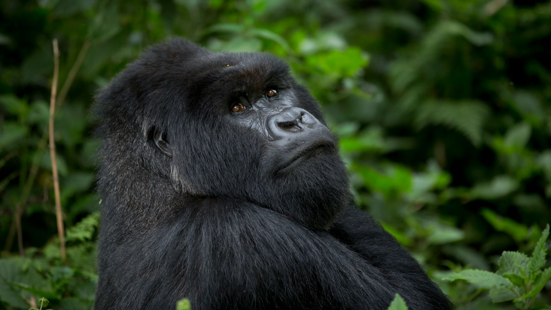 Mountain Gorilla Numbers Get Much-Needed Boost Thanks To 'Extreme Conservation' Efforts