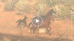 Il cavallo torna verso la fattoria in fiamme per mettere in salvo la sua famiglia