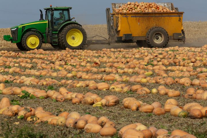 Dickinson pumpkins being harvested for the Libby's pumpkin cannery in Morton, Illinois. Their oblong shape and pale colour lead many people to question their classification as a pumpkin.