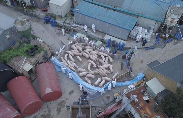 지난 9월 아프리카돼지열병 확정 판정을 받은 파주의 한 농가에서 방역복을 입은 작업자들이 돼지를 도살시키고