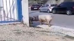 Βίντεο: Γουρούνια κάνουν βόλτες στους δρόμους της