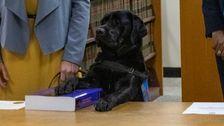 Λαμπραντόρ Ορκιστεί Στο Γραφείο του Εισαγγελέα, Ως Συναισθηματική Υποστήριξη Σκύλο