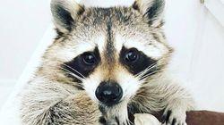インスタで人気のアライグマ「パンプキン」死去、フォロワー140万人