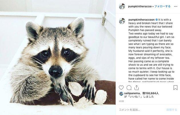 アライグマのパンプキンが亡くなったことを報告する投稿