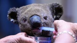 Deux koalas sauvés des feux de