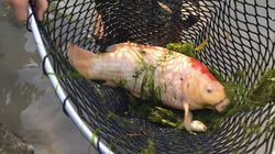 Vancouver Koi Pond Drained After Deadly Otter