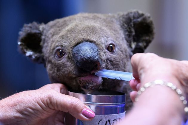 11月2日、森林火災の現場から救助されて手当を受ける脱水症状のコアラ