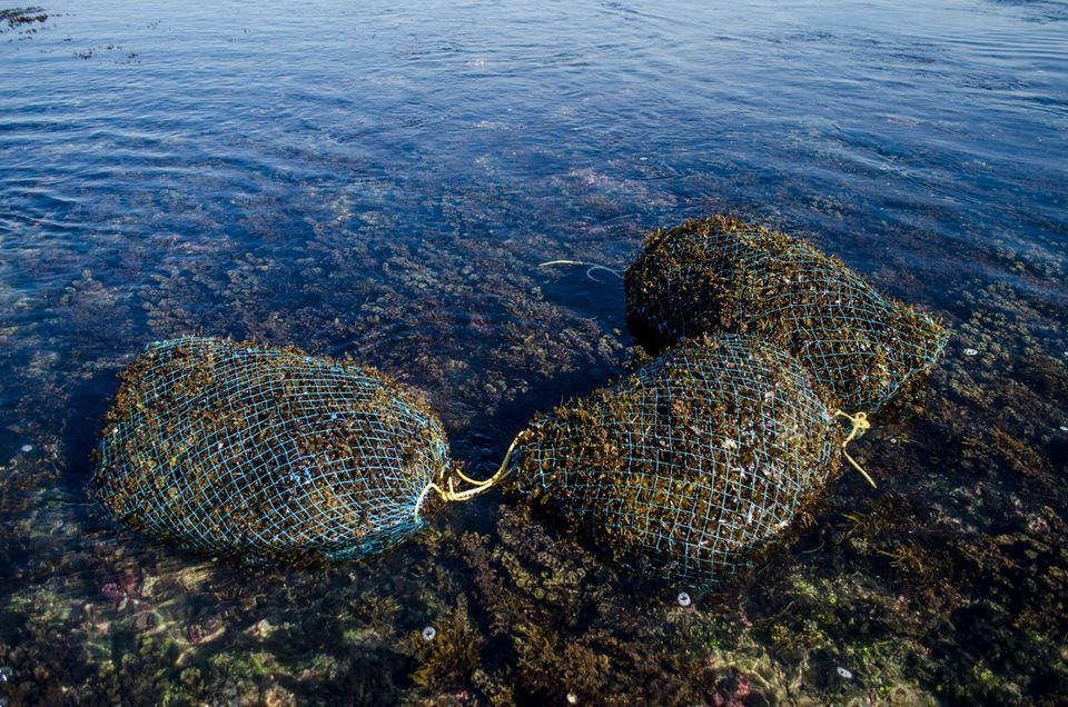 The net bags the women use to collect the seaweed; in the process, they often bruise and bleed, but a...
