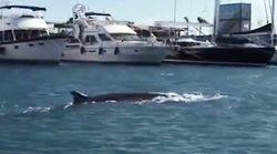 Avistan una ballena de 12 metros en La Marina de