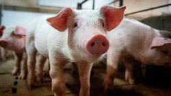Le porc et le boeuf canadiens pourront de nouveau être expédiés en