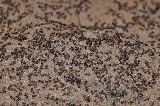 연구자들이 탈출시키기 직전 핵 벙커 속 둥지에 붉은숲개미가 빽빽하게 몰려 있는 모습. 벙커 위에 떨어진 이들은 수년째 성공적으로 적응해