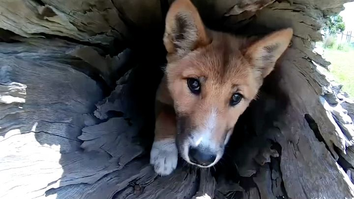 Months after is was found in a Victorian backyard, a DNA test has revealed a little pup, apparently dropped there by an eagle, is actually a rare purebred dingo.