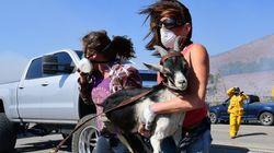 500頭のヤギ、レーガン大統領図書館を山火事から救う