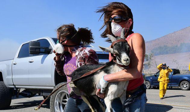 10月30日、レーガン大統領図書館近くの牧場から救出されるヤギ (Photo by FREDERIC J. BROWN/AFP via Getty