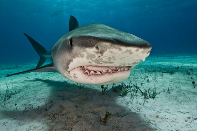 The man's hand was found in a tiger shark's stomach (file