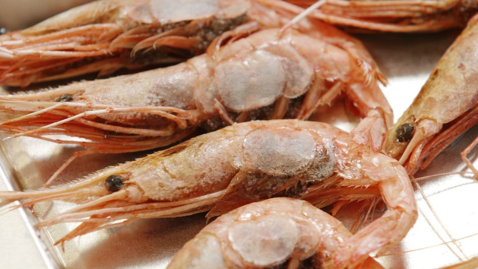 Shrimp are lined up to be examined at the University of Maine.