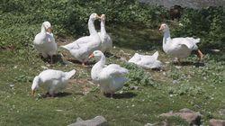 The Rogue Goose Behind An Attack On A Nova Scotia Senior Has Been