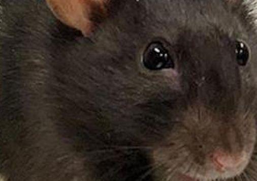 Alertan de la presencia de rata negra en